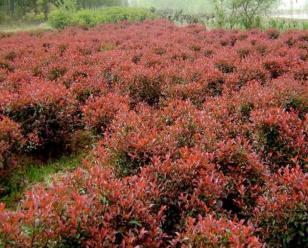 米径8cm红叶石楠