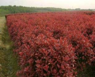 米径10cm红叶石楠