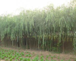 6cm垂柳